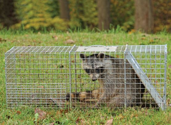 Racoon in a cage
