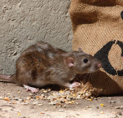 Rat eating grains