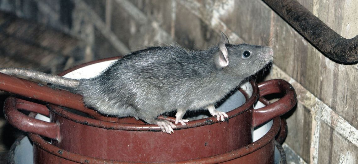 Rat on a barrel